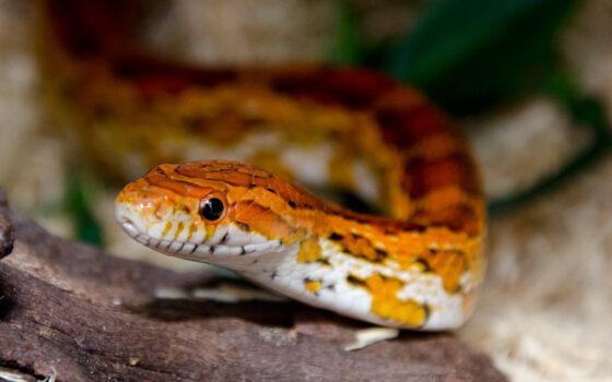 Corn Snake 02